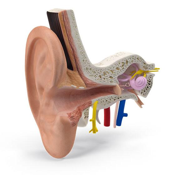 oido-interno