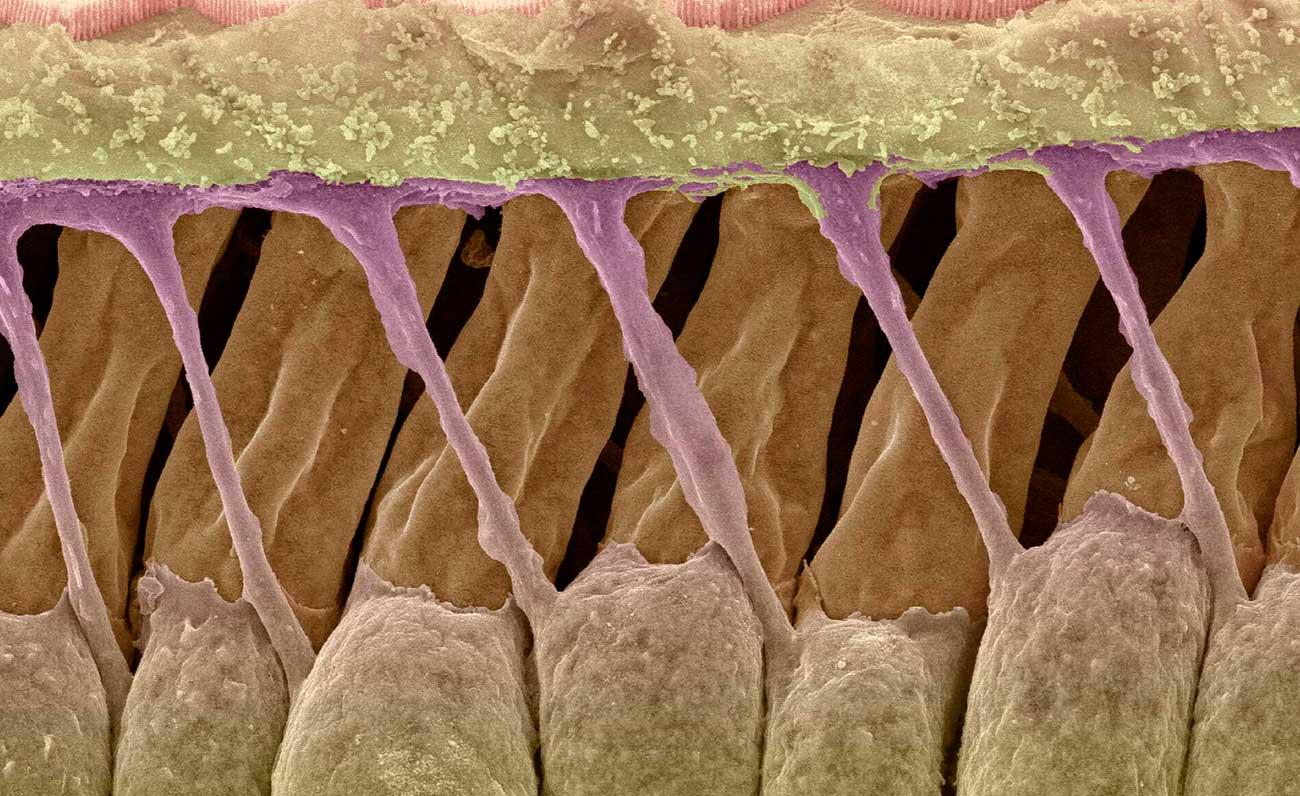 portada-celulas-oido-interno